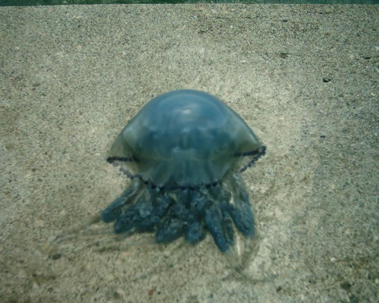 Mavi denizanası [Göknur Sürek]