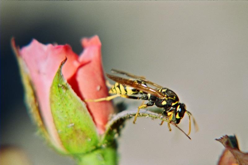 Eşek arısı [Süleyman Borlak]