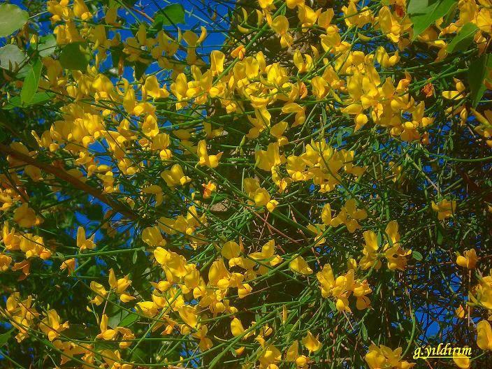 Sarı [Gamze Yıldırım]
