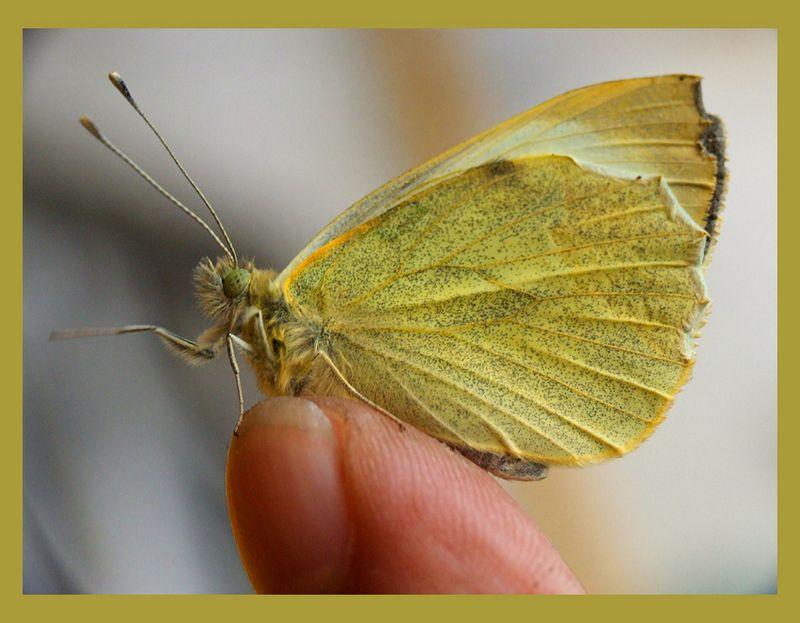 Sarı Kelebek [Saim Dağ]