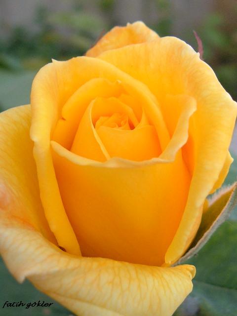Sarı Gül [Fatih Gökler]