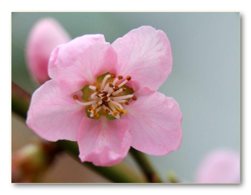 Şeftali Çiçeği [Saim Dağ]