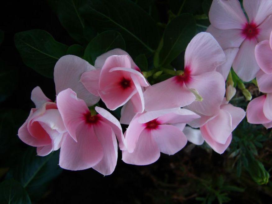 Pembe rozetler [Vildan Sönmez]
